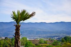 Palm tree on a background of mountains caucasus Stock Photos