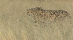 Cheetah Prowling Through Long Grass Stock Footage
