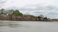 1230 Cherry Blossoms at DC next to Pond  Stock Footage