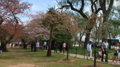 Washington DC. People looking at the Cherry Blossoms  - stock footage