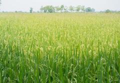 Paddy rice - Rice field - stock photo