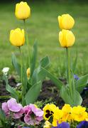 four yellow tulip flower spring season - stock photo