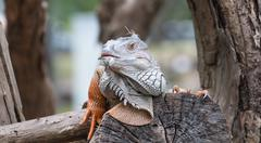 iguana reptile on tree - stock photo