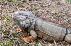 iguana reptile on the ground - stock photo