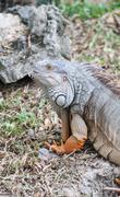 Iguana reptile on the ground Stock Photos