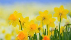 Narcissus field on sunny day with blue sky in the background.. - stock footage
