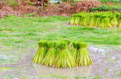rice bundle - stock photo