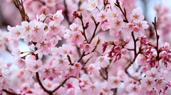 Cherry Blossom in Nagano Prefecture, Japan. Close Up. Stock Footage