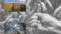 Wheat Growing and Harvesting Stock Footage