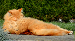 Big ginger cat washes in the garden Stock Footage