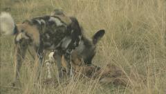 African Wild Dogs Feeding Stock Footage