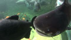 Giant Catfish Swims To camera Stock Footage