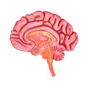 Brain intersection Stock Illustration