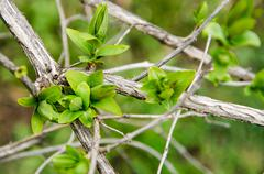 Earliest spring green leaves on old branches Stock Photos