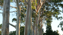 Gum trees in kings park, perth, australia on a sunny day with blue sky Stock Footage