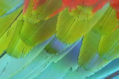 Stock Photo of close up of scarlet macaw wing