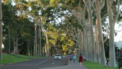 Traffic drives through kings park past gum trees, perth, australia Stock Footage