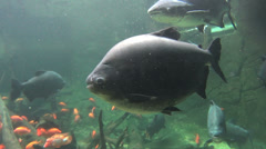 Large Pacu School Of Fish Stock Footage