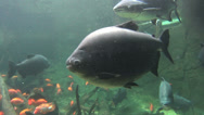 Stock Video Footage of Large Pacu School Of Fish