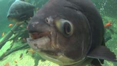 Stock Video Footage of Pacu Fish Swims To Camera