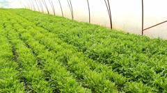 Vegetables salad Arugula aka Rocket,organic Rucola in greenhouse Stock Footage