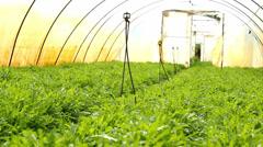 Arugula aka Rocket,organic Rucola in greenhouse Stock Footage
