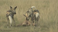 African Wild Dogs Feeding Stock Footage