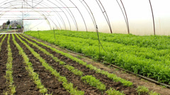 vegetables salad Arugula organic Rucola in greenhouse - stock footage