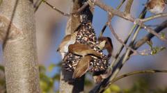 Munia Birds On Treat Stock Footage