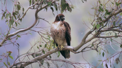 Red Tail Hawk On Tree Branch Closer View Arkistovideo