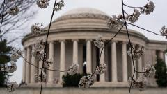 Cherry Blossoms by Jefferson Memorial Tilt Down Stock Footage