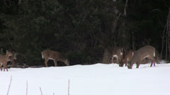 Deer Feeding in a Field in Winter in Nova Scotia Stock Footage