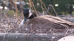 Canada goose sitting on nest and eggs Stock Footage
