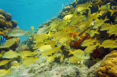 Caribbean sea school of fish in a coral reef Stock Photos
