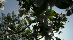 Apple Blossoms On a Tree Stock Footage