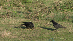 Crows Interacting Stock Footage