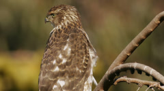 Cooper's Hawk On Branch Close Up Stock Footage