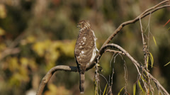 Cooper's Hawk on Branch Gazing Prey - stock footage