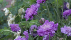 Blue Scabious flowers move in garden wind Stock Footage
