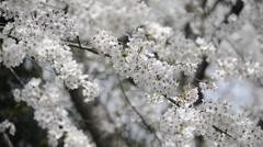 Hanami cherry blossom viewing at Hibiya Park, Tokyo, Japan Stock Footage