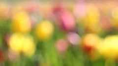 Tulips Out of Focus Bokeh Background in Woodburn OR on a Spring Day Closeup Stock Footage