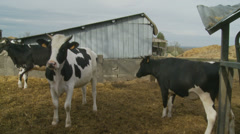 One cow pushes another out of the way - stock footage