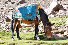 mule grazind grass - stock photo