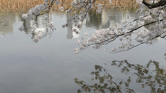 Hanami cherry blossom viewing at Ueno Park, Tokyo, Japan Stock Footage