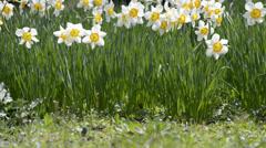Narcissus flowers at Hibiya Park, Tokyo, Japan Stock Footage