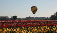 Hot Air Balloons taking off in Colorful Tulip Farm One Spring Morning 1080p Stock Footage