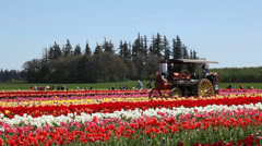 Antique Steam Tractor at Tulip Farm Stock Footage