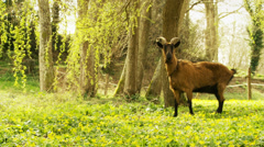 Inquisitive Goat stands on two legs Stock Footage