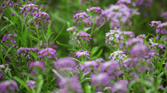 Lilac flowers on the defocused background Stock Footage