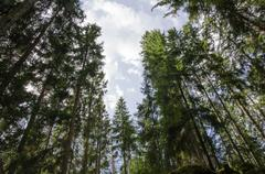 tall spruce trees - stock photo